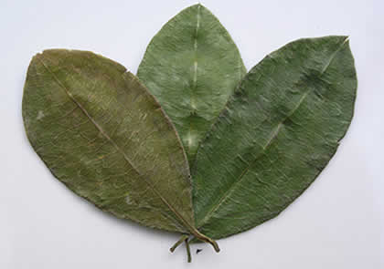The coca leaf is a sacred plant to connect to nature's energies